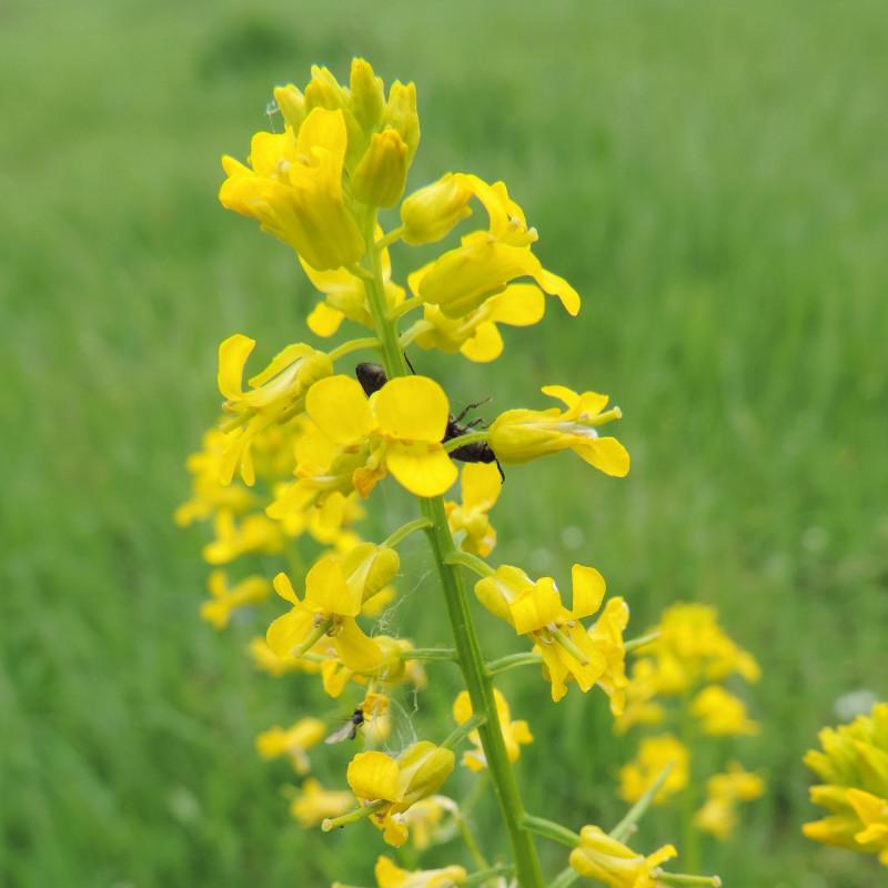 Barbarea vulgaris de Krzysztof Ziarnek, Kenraiz, CC BY-SA 4.0, via Wikimedia Commons