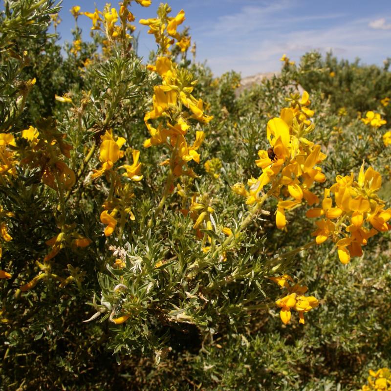 Adenocarpus hispanicus par PedroFrancisco1968 de Wikimedia commons