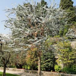 Eucalyptus pulverulenta par Daderot de Wikimedia commons