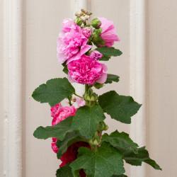 Alcea rosea Chater's de W.carter, CC0, via Wikimedia Commons