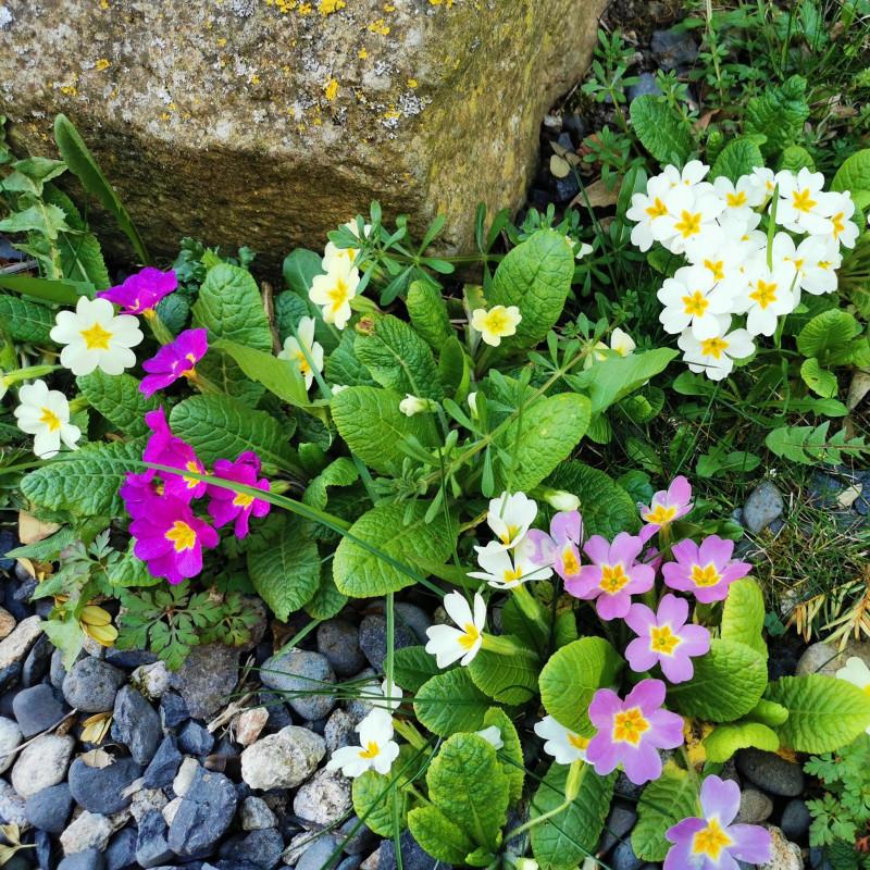 Primula vulgaris Semences du Puy