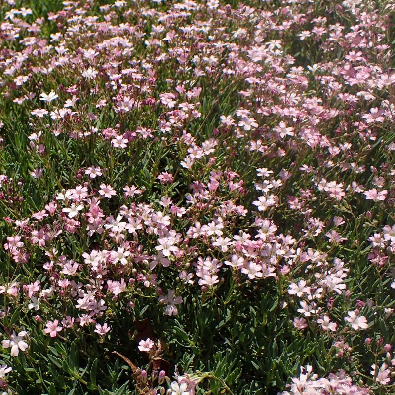 Gypsophila repens 'Rosea' de Krzysztof Ziarnek, Kenraiz, CC BY-SA 4.0, via Wikimedia Commons