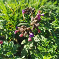 Pulmonaria affinis - Semences du Puy