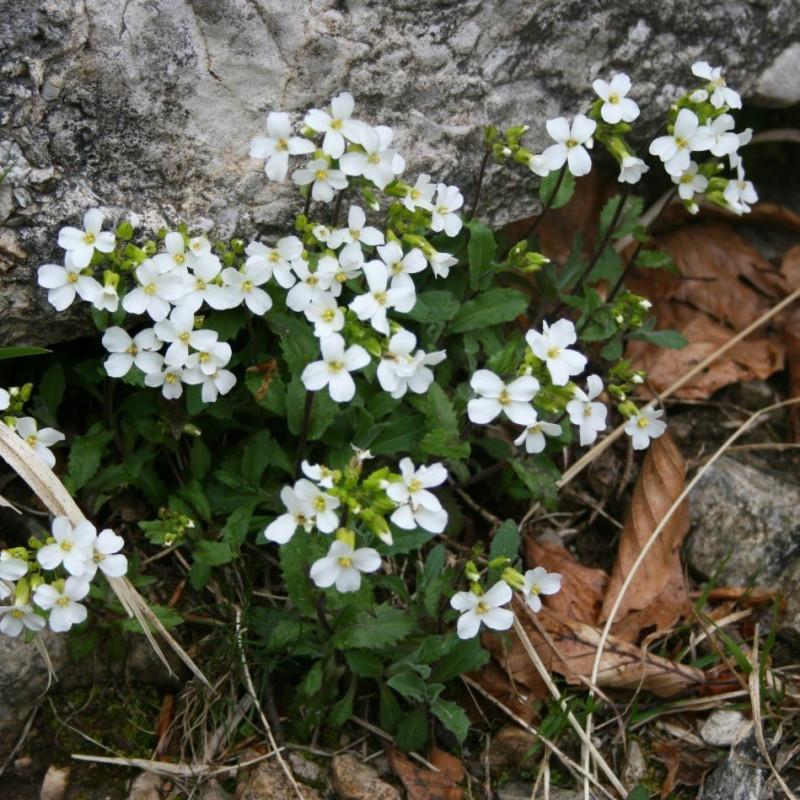 Arabis alpina de Franz Xaver, CC BY-SA 3.0, via Wikimedia Commons