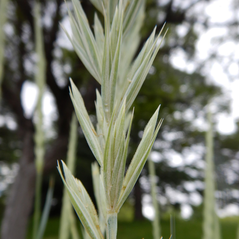 Elymus arenarius de Matt Lavin from Bozeman, Montana, USA, CC BY-SA 2.0, via Wikimedia Commons