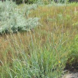 Andropogon hallii de Denver Botanic Gardens, CC0, via Wikimedia Commons