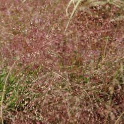 Eragrostis spectabilis de David J. Stang, CC BY-SA 4.0, via Wikimedia Commons