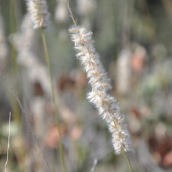 Melica ciliata de Xemenendura, CC BY-SA 3.0, via Wikimedia Commons