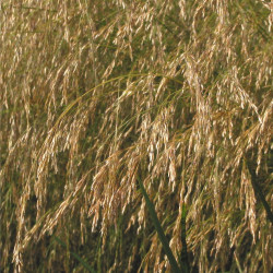 Deschampsia cespitosa de Rasbak, CC BY-SA 3.0 via Wikimedia Commons