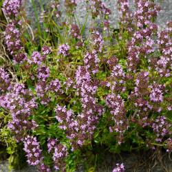 Thymus vulgaris de Naturpuur, CC BY 4.0, via Wikimedia Commons