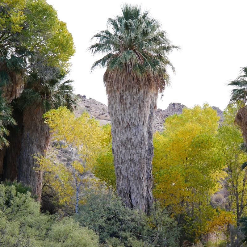 Washingtonia filifera par Thayne Tuason de Wikimedia commons