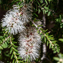Callistème à feuilles de saule by Andi Edwards - Canva