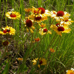 Gaillardia aristata de Matt Lavin from Bozeman, Montana, USA, CC BY-SA 2.0, via Wikimedia Commons