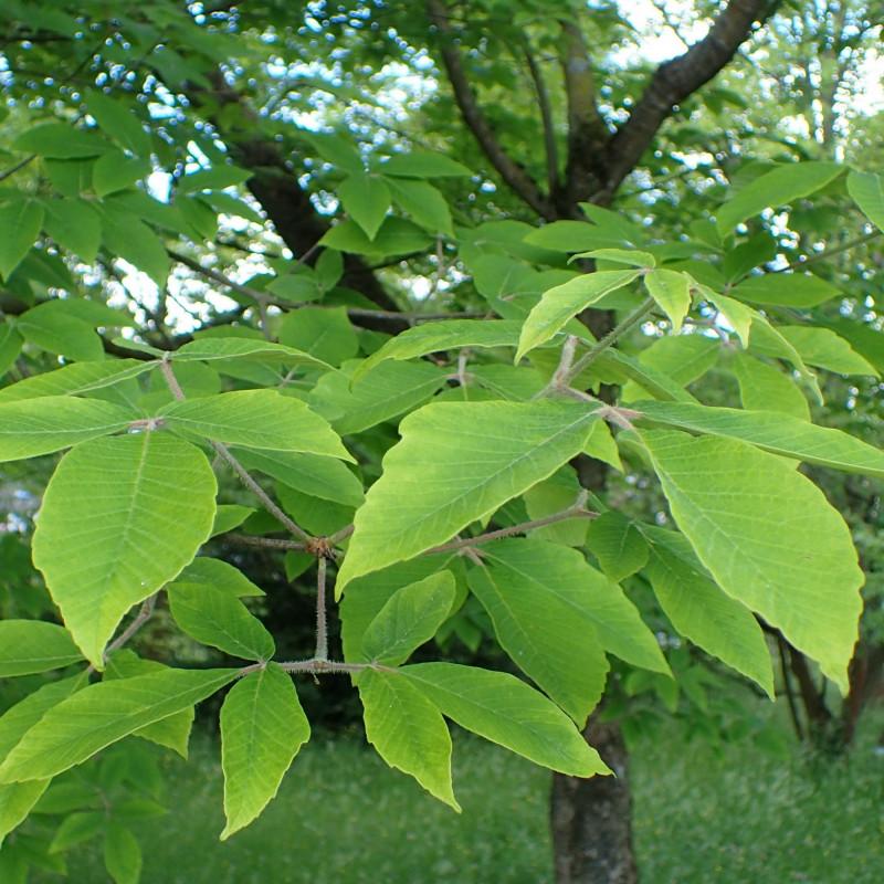 Acer maximowiczianum par Krzysztof Ziarnek, Kenraiz de Wikimedia commons