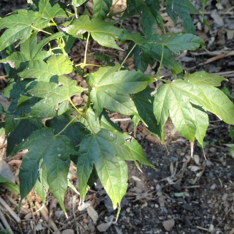 Acer elegantulum par Daderot de Wikimedia commons