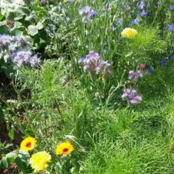 Jachère abeille - Semences du Puy
