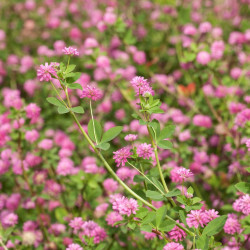 trifolium resupinatum de  Terraprima, CC BY-SA 3.0, via Wikimedia Commons
