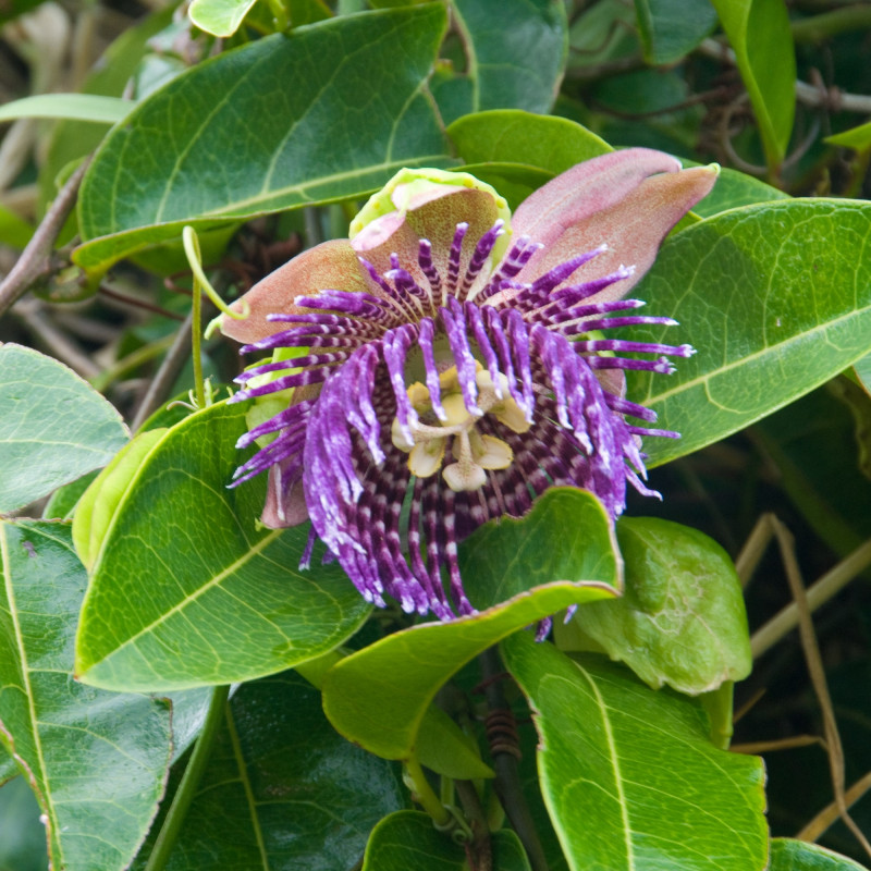Passiflora laurifolia de ArtBrom from Seattle, CC BY-SA 2.0 via Wikimedia Commons