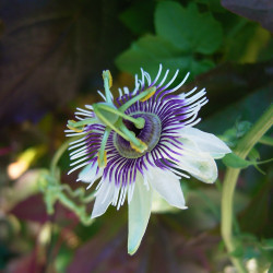 Passiflora morifolia de Density, CC BY-SA 2.5, via Wikimedia Commons