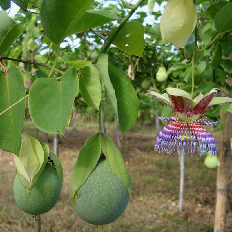 Passiflora maliformis de John Ocampo, Public domain, via Wikimedia Commons