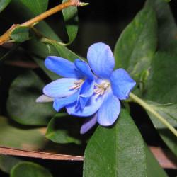 Sollya heterophylla de 阿橋 HQ, CC BY-SA 2.0, via Wikimedia Commons