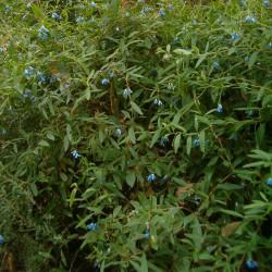 Sollya heterophylla de BotBln, CC BY-SA 3.0, via Wikimedia Commons