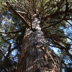 Athrotaxis laxifolia de J Brew, CC BY-SA 2.0, via Wikimedia Commons