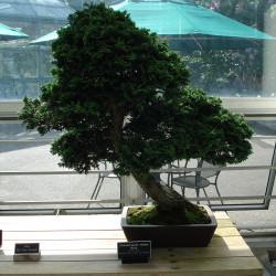Chamaecyparis Obtusa bonsai de Jeffrey O. Gustafson, CC BY-SA 3.0, via Wikimedia Commons