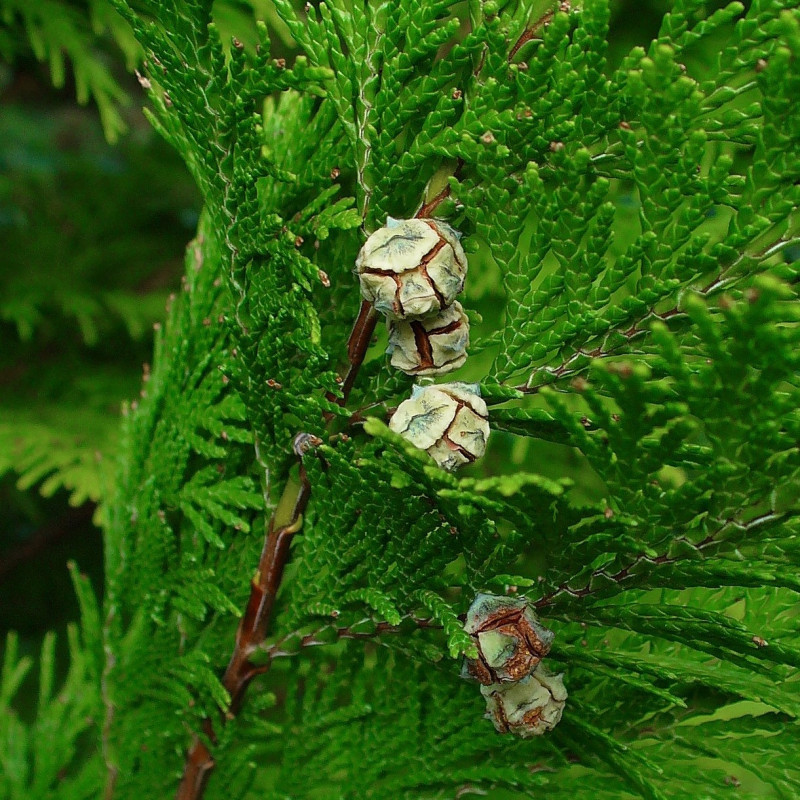 Chamaecyparis lawsoniana de H. Zell, CC BY-SA 3.0, via Wikimedia Commons