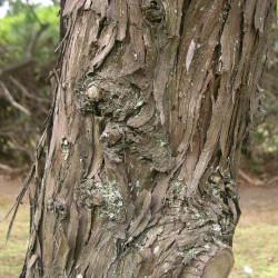 Juniperus chinensis de KENPEI, CC BY-SA 3.0, via Wikimedia Commons