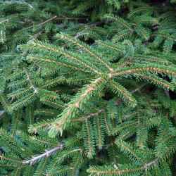 Picea orientalis de Karduelis, Public domain, via Wikimedia Commons