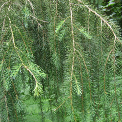 Picea breweriana de MPF, CC BY 3.0, via Wikimedia Commons
