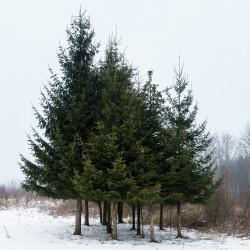 Picea abies de Neptuul, CC BY-SA 4.0, via Wikimedia Commons