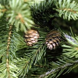 Picea rubens de Robert H. Mohlenbrock USDA NRCS. 1995 Northeast National Technical Center Public domain, via Wikimedia Commons