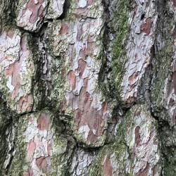 Pinus thunbergii de KATHERINE WAGNER-REISS, CC BY-SA 4.0, via Wikimedia Commons