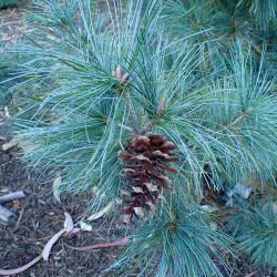 Pinus parviflora de Krzysztof Ziarnek, Kenraiz, CC BY-SA 4.0, via Wikimedia Commons