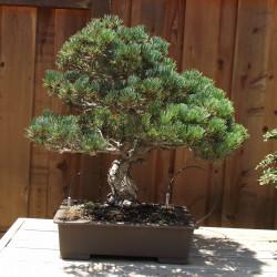 Pinus parviflora de Tortie tude, CC0, via Wikimedia Commons