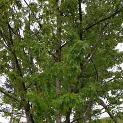 Acer saccharinum Semences du Puy