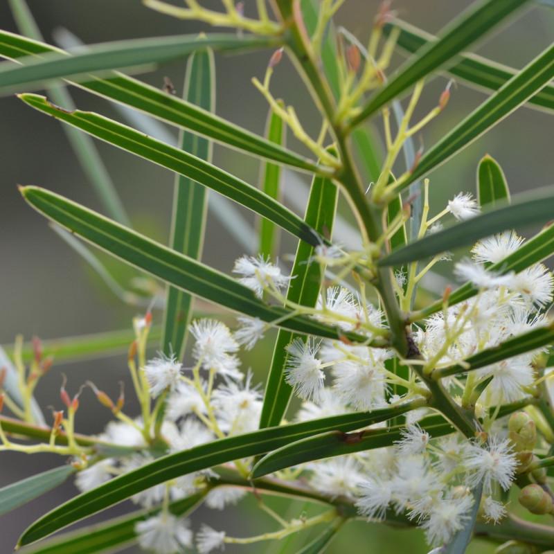 Acacia suaveolens de MargaretRDonald, CC BY-SA 4.0, via Wikimedia Commons