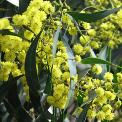 Acacia pycnantha de Melburnian, CC BY-SA 3.0, via Wikimedia Commons