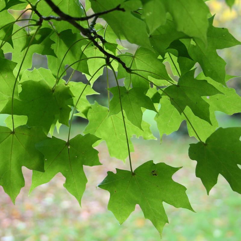 Acer miyabei de Jean-Pol GRANDMONT, CC BY 3.0, via Wikimedia Commons