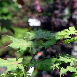Acer palmatum Aka shigitatsu nsawa de David J. Stang, CC BY-SA 4.0, via Wikimedia Commons