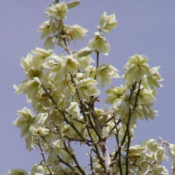 Yucca elata par Stan Shebs de Wikimedia commons