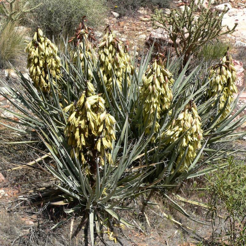 Yucca baccata par Stan Shebs de Wikimedia commons