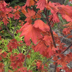 Acer circinatum de John Rusk from Berkeley, CA, United States of America, CC BY 2.0, via Wikimedia Commons