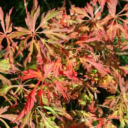 Acer japonicum 'Green Cascade' de Jean-Pol GRANDMONT, CC BY-SA 3.0, via Wikimedia Commons