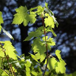 Acer glabrum de Walter Siegmund, CC BY-SA 3.0, via Wikimedia Commons