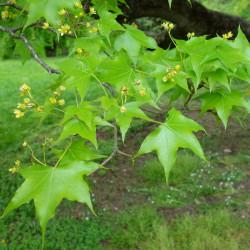 Acer truncatum de Daderot, CC0, via Wikimedia Commons
