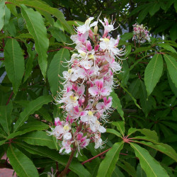 Aesculus indica de Steve Law from Henfield, England, CC BY-SA 2.0, via Wikimedia Commons