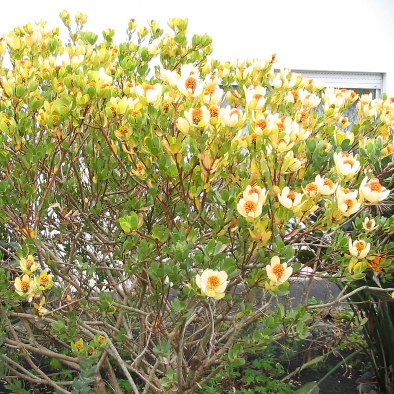Leucadendron discolor par Ixitixel de Wikimedia commons